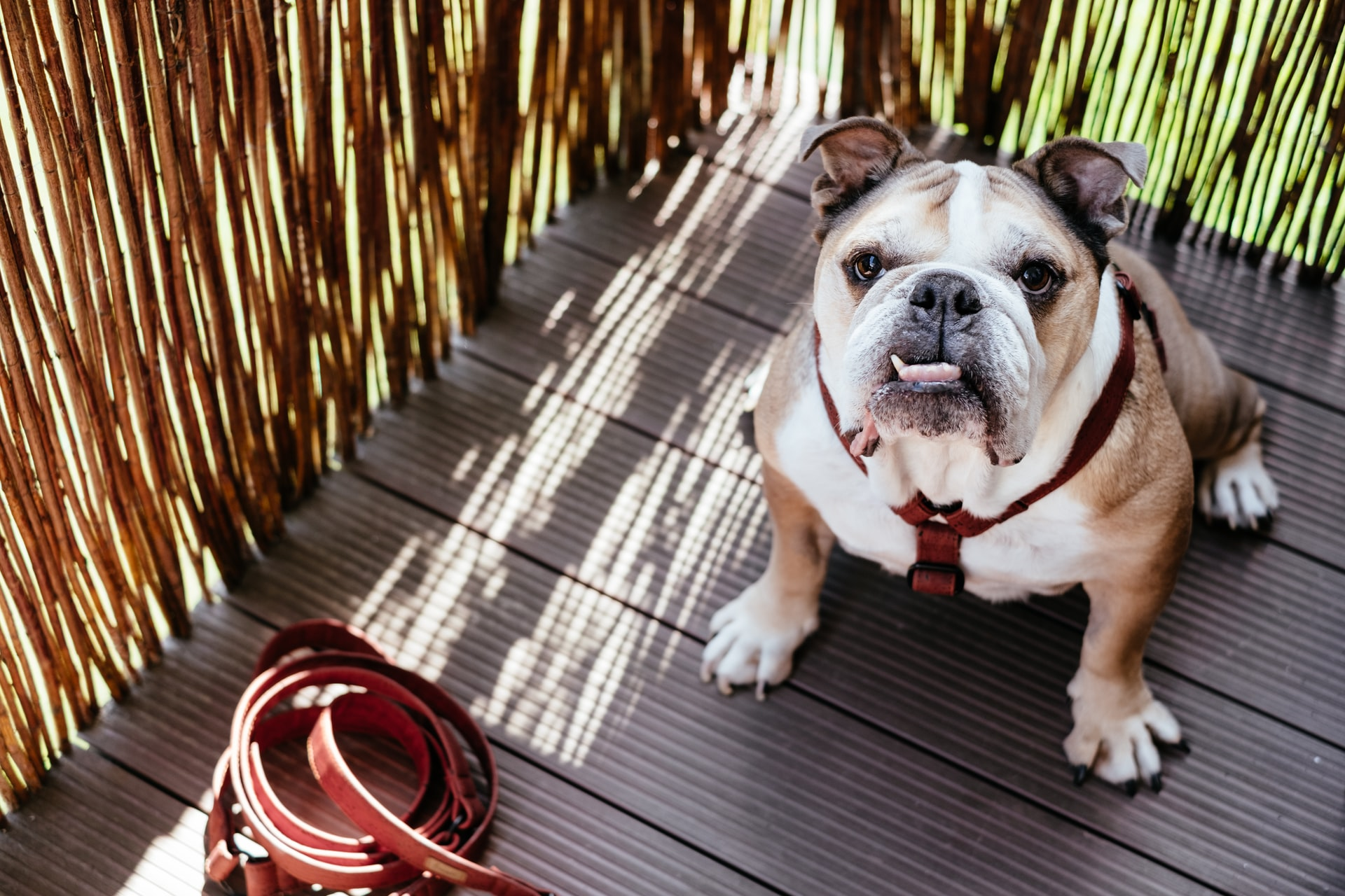 A brown and white bulldog sitting on the porch of a house